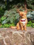 红色奇瓦瓦狗狗坐花岗岩垫座。 库存图片