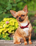 红色奇瓦瓦狗狗坐花岗岩垫座。 免版税库存图片