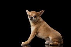 红色奇瓦瓦狗狗坐镜子,看在被隔绝的照相机 免版税库存照片