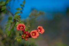 红色女士galen藤生长在佛罗里达的喇叭花 库存图片