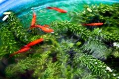 红色娘娘腔的男人,在绿色杂草之间的翻车鱼游泳在鱼缸 免版税库存图片