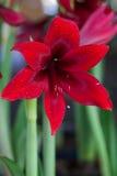 红色孤挺花花绽放春天 免版税库存图片