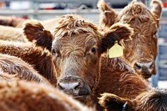 红色安格斯牛在饲养时间 免版税库存照片