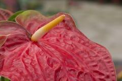 红色安祖花,彩斑芋 免版税图库摄影