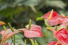红色安祖花,彩斑芋 库存图片