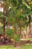 红色封印棕榈或唇膏棕榈、泰国的当地五颜六色的棕榈,印度尼西亚和马来西亚 库存图片