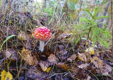 红色小整洁的伞形毒蕈在雨以后的秋天森林里 库存照片