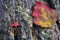 红色小新芽和叶子 库存照片