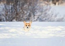 红色小狗小狗乐趣在冬天跑深白色随风飘飞的雪的一个多雪的草甸在一好日子 库存图片