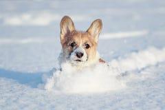 红色小狗小狗乐趣通过弄脏他的鼻子和面孔的白色随风飘飞的雪跑在一个冬天公园在一好日子 库存图片