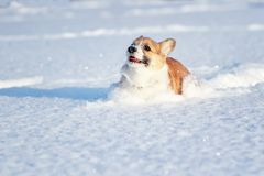 红色小狗小狗乐趣通过弄脏他的鼻子和面孔的白色随风飘飞的雪跑在一个冬天公园在一好日子 免版税库存照片