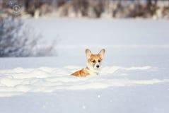 红色小狗小狗在深白色随风飘飞的雪在冬天在公园坐一好日子 免版税库存图片