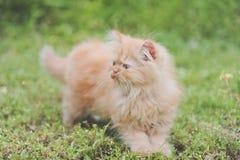 红色小猫波斯语 免版税库存图片