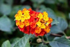 红色小的花,橙色,黄色在绿色Backgroud 免版税库存照片