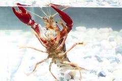 红色小龙虾在池塘 库存图片