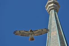 红色尾巴鹰高昂反对一清楚的天空蔚蓝 免版税图库摄影