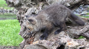 红色尾巴狐狸 库存图片