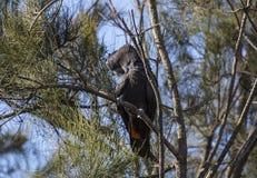 红色尾巴黑色美冠鹦鹉 免版税库存图片