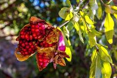 红色展开了在树枝特写镜头的成熟石榴果子 库存图片