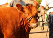 红色展示小牝牛 免版税库存图片