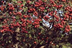 红色山楂树果子在绿色背景的秋天 库存图片