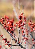 红色山楂树浆果 免版税库存照片
