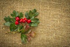 红色山楂树莓果在秋天 库存照片