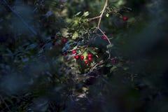 红色山楂树莓果在阳光下 免版税库存图片