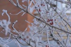 红色山脉灰和其他植物在雪下 俄国冬天2018年 库存图片