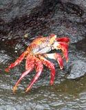 红色岩黄道蟹在加拉帕戈斯,厄瓜多尔 免版税库存照片
