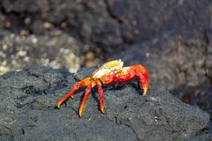 红色岩黄道蟹在加拉帕戈斯,厄瓜多尔 库存照片