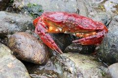 红色岩黄道蟹处于低潮中 免版税图库摄影