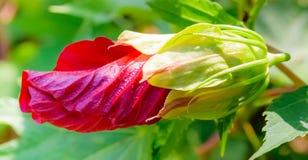 红色巨型hybicus芽对绽放 免版税库存图片