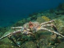 红色巨蟹摆在 免版税库存图片