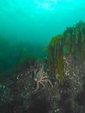 红色巨蟹攀岩 库存图片