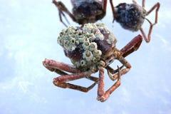 红色巨蟹, Paralithodes camtschaticus,也叫堪察加螃蟹 免版税库存照片