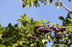 红色布拉斯李树 库存照片