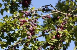 红色布拉斯李树 免版税库存图片