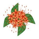 红色布什杨柳花或Combretum Erythrophyllum花 库存图片