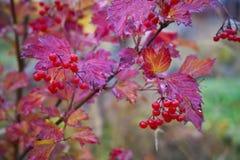红色布什荚莲属的植物秋天的叶子和莓果 库存照片