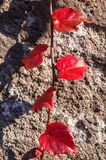 红色常春藤在一个老石墙离开 库存照片