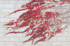 红色常春藤爬行物在白色大厦墙壁离开 免版税图库摄影