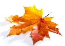 红色干燥枫叶 免版税库存照片