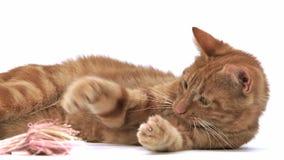 红色平纹家猫,放置和使用反对白色背景的成人, 股票视频