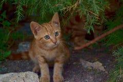 红色平纹小猫 免版税库存图片