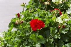 红色庭院大竺葵在罐,射击/大竺葵的关闭开花 免版税库存照片