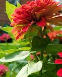 红色庭院绽放 库存图片