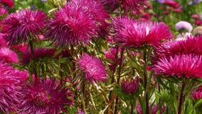 红色庭院翠菊 免版税库存图片