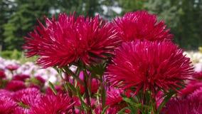 红色庭院翠菊 库存照片