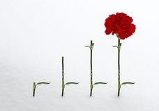 红色康乃馨和三个词根在雪 免版税库存照片